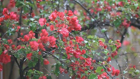 Spring rain on bougainvillea Footage