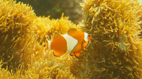 Crown fish of Kasai Rinkai Suizokuen Footage