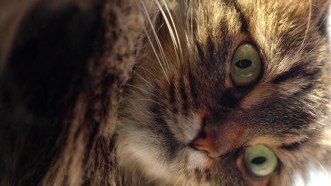 Vertical video. Cute muzzle of a tabby domestic cat that looks in different ビデオ