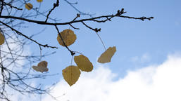 the last leaves on the trees Photo