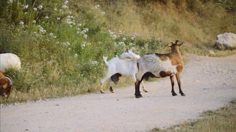 Goats Scratch Themselves in the Middle of the Gravel Path ビデオ