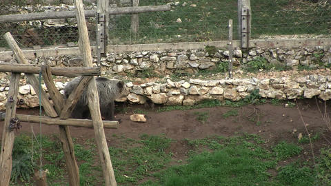 European Brown Bear Live Action
