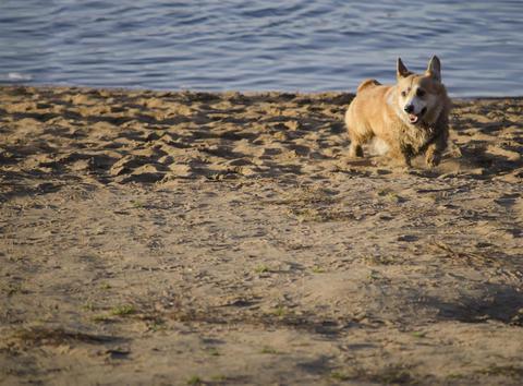 Pembroke Welsh Corgi breed dog フォト