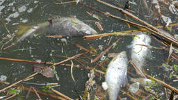 Dead fish in the water. Water pollution Footage