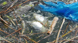 Water pollution. Dead fish and plastic bag Live Action
