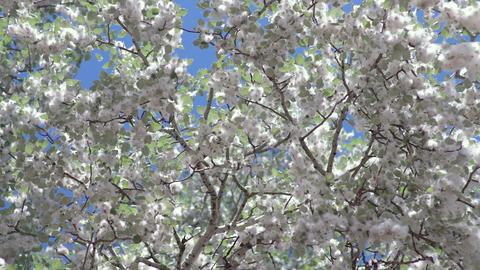 Poplar fluff on poplar tree against blue sky ビデオ