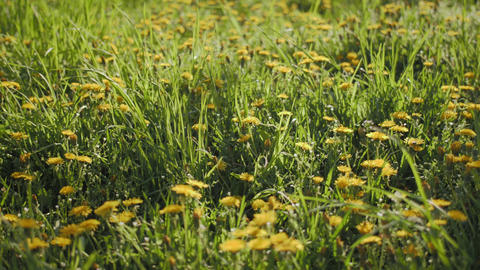 Walk in dandelions Footage