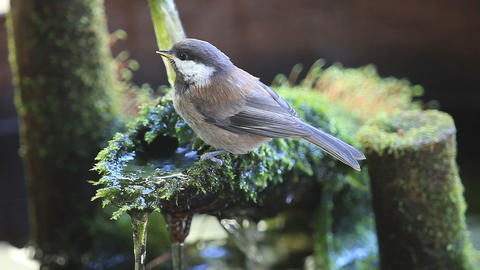 Baby chickadee drinks up at mossy fountain Footage