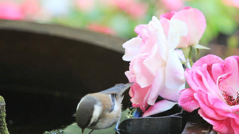 Chickadee bathes next to roses Footage