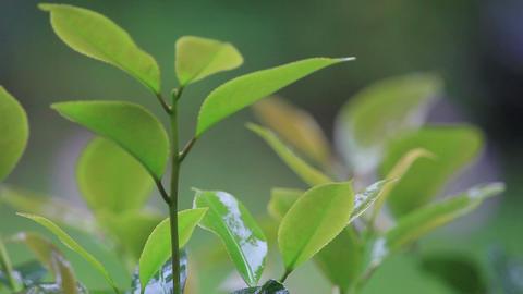 Rain on camellia leaves Footage