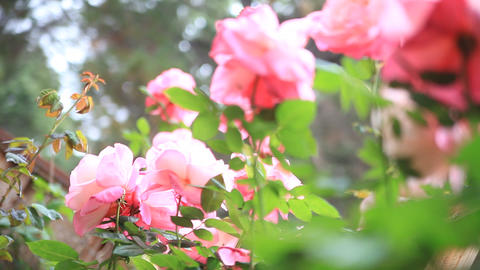 Rose garden from low angle Footage