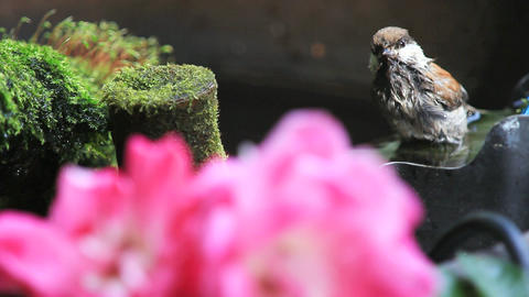 Baby chickadee bathing with mosses and flowers Footage