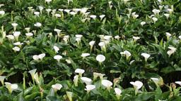 Lilies growing at Calla Lily Plantation Yangmingshan Taiwan Footage