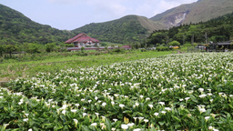 Lilies growing at Calla Lily Plantation Yangmingshan Taiwan Footage