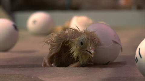 Newly hatched baby chicken inside an incubator Live Action