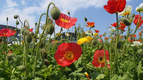 Red Poppies, April 30, 2016, Chiba, Japan Footage