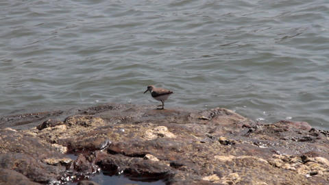 common sandpiper winter on coast of Arabian sea Footage