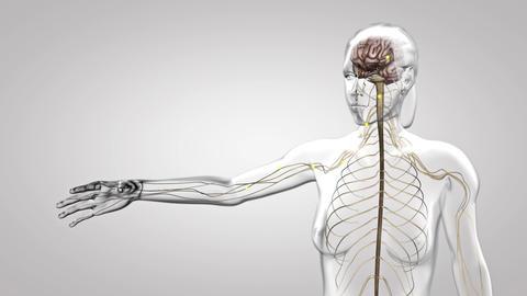 nervous system Footage