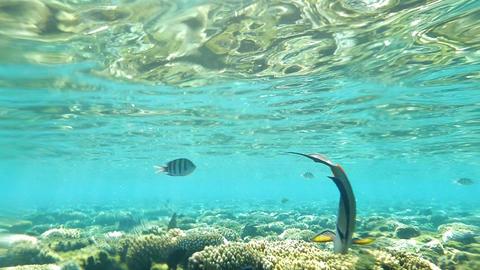 Red Sea, Sohal Surgeonfish Eating Coral Reef Underwater Footage