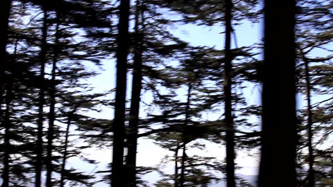 Himalayan firs and silver-fir on the mountainside Live Action