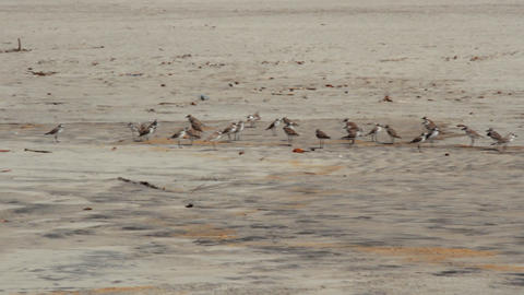 Mixed flock of plovers in Arabian sea Footage