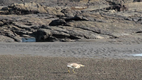 Heron (Ardea grayii) hunting for crabs at low tide Live Action