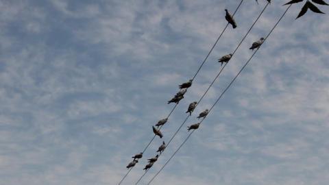 blue rock pigeon (Columba livia) in india Footage