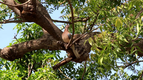 Laughing dove - gorgeous gentle dove on a green tree Footage