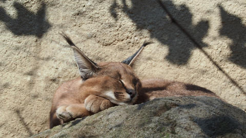 Desert cat Caracal (Caracal caracal) or African lynx with long tufted ears Footage