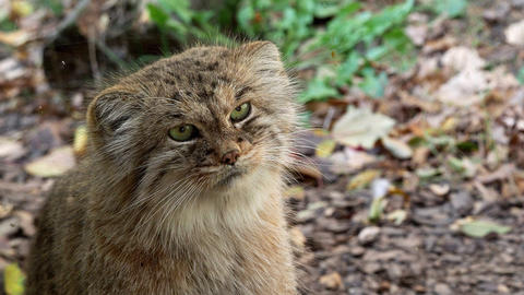 Manul or Pallas's cat, Otocolobus manul, cute wild cat from Asia Footage