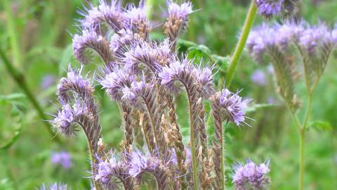 Purple flowers of Phacelia ビデオ