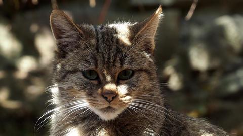 European Wild Cat (Felis silvestris) Live Action