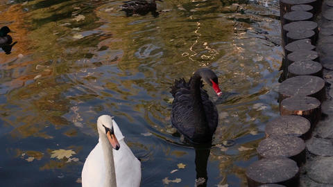 A pair of white swans swimming in a pond in a city park ビデオ