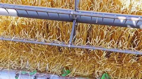 Combine harvester working on autumn wheat field ビデオ