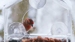 Slow motion of perched, flying house finch birds, bird feeder snowing Footage