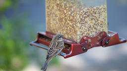 Slow motion of one house sparrow birds perched on bird feeder Live Action