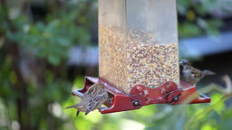 Slow motion of many house sparrow birds perched on bird feeder Footage