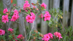 Closeup of pink roses petals in summer, spring autumn garden vibrant color Footage