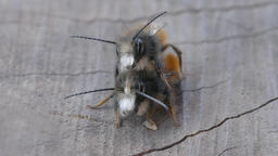 Wild Bees Insect Copulation Pair Close Up Live Action