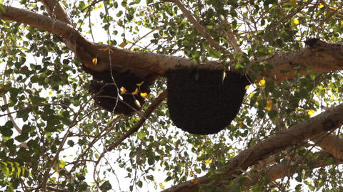 Bees swarm on branches of tree Live Action