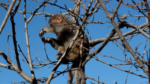 young Rhesus macaque feeds of young buds Live Action
