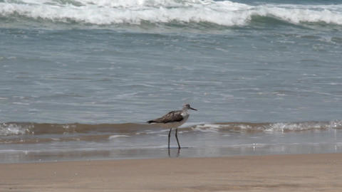 Greenshank (Tringa nebularia) in winter on shore of Arabian sea Footage