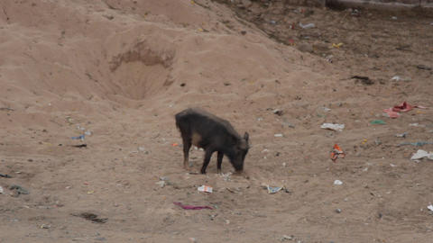 Black thin pig fed in the vicinity of the village in India Live Action