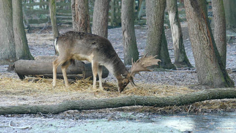 Fallow deer spotted in enclosure searches the falling autumn leaves and looks ビデオ
