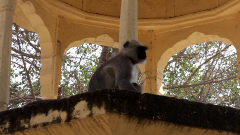 langur of Hanuman in Hindu sanctuary Live Action