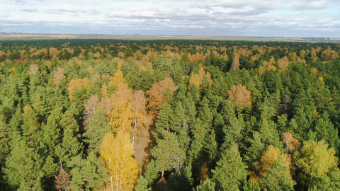 aerial motion through pines and gold birch forest to ashes Live Action