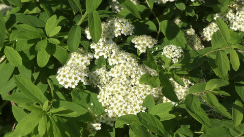 Small white flowers of spiraea Live Action