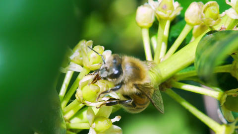 slow motion macro honey bee going from flower to flower... Stock Video Footage