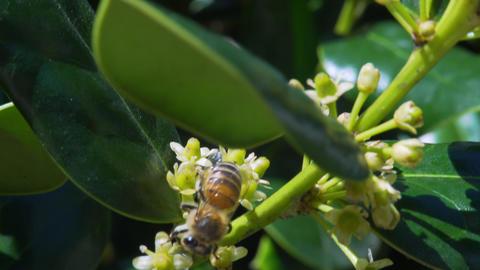honey bee collecting pollen 4k Footage