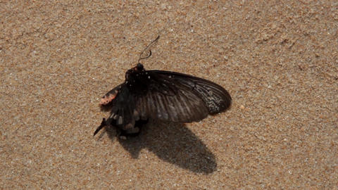 Dead black poisonous butterfly on the shore of the Arabian sea Footage
